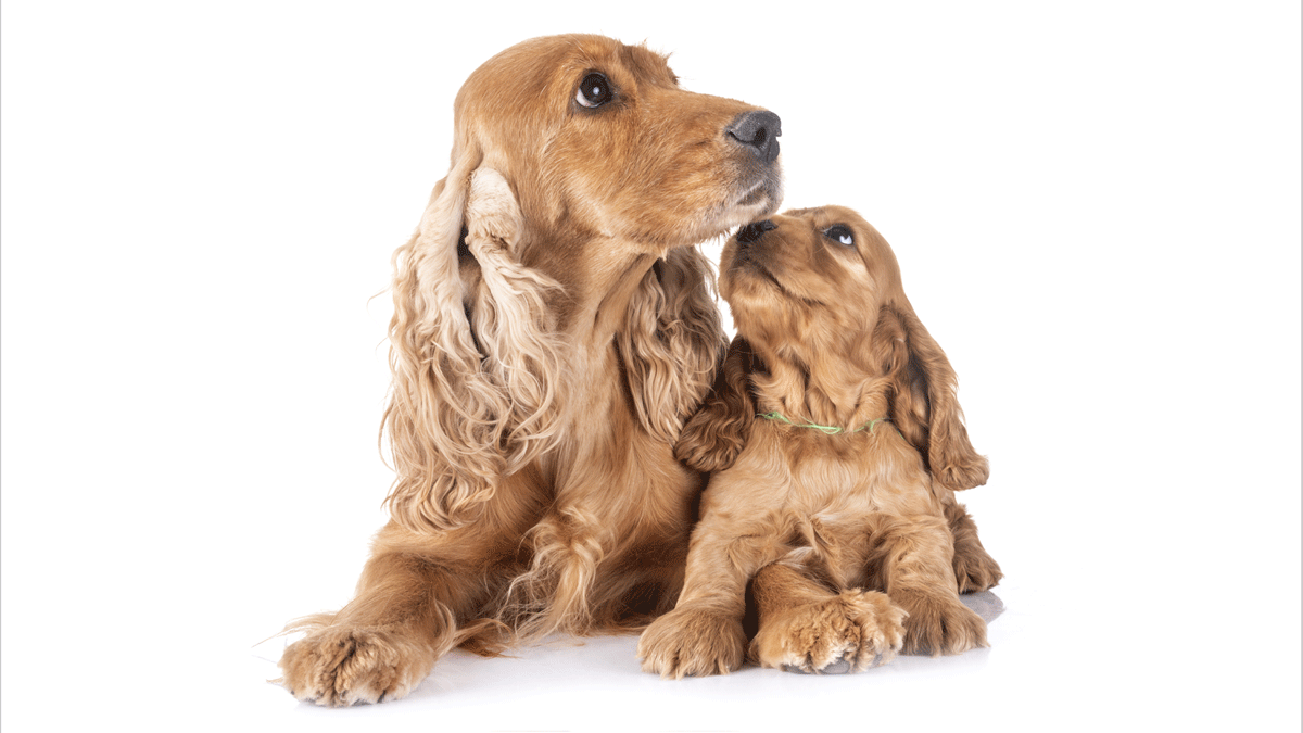 Cocker and Pup (Canine Maternal Behavior)