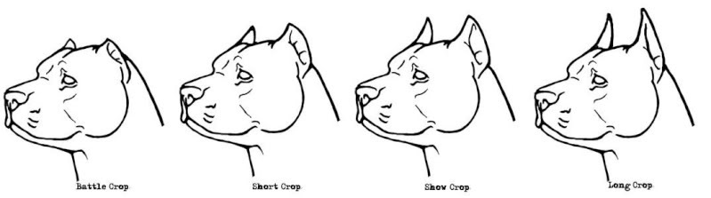 Ear Cropping and Tail Docking—Is it Right?