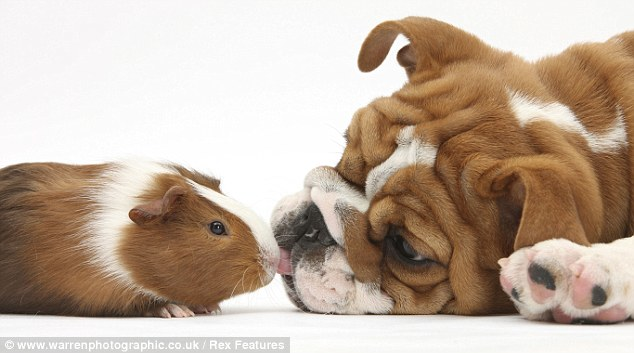 Dog and Guinea Pig.