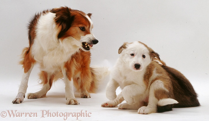 Dogs snarling