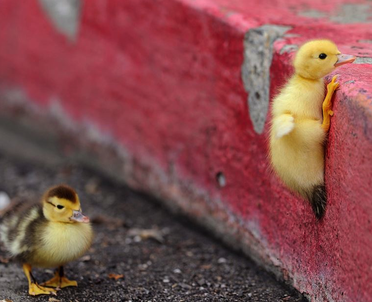 Duckling Trying To Climb.