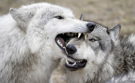 Muzzle grab in adult wolves (photo by Monty Sloan).