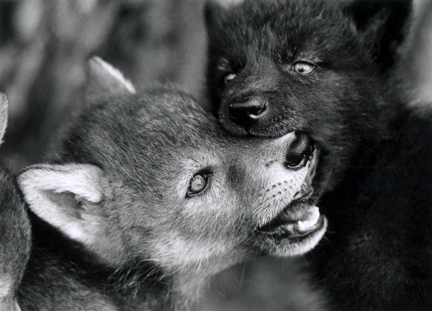 Cubs and pups muzzle grab one another during play (photo by Monty Sloan).