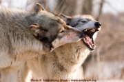 WolfYawning