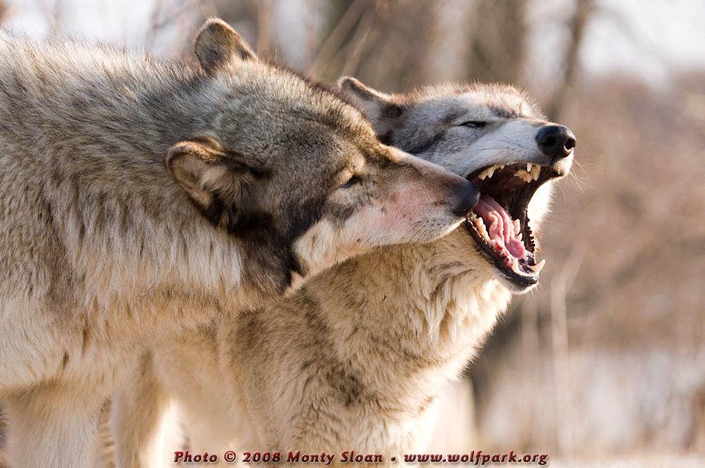Wolf Yawning