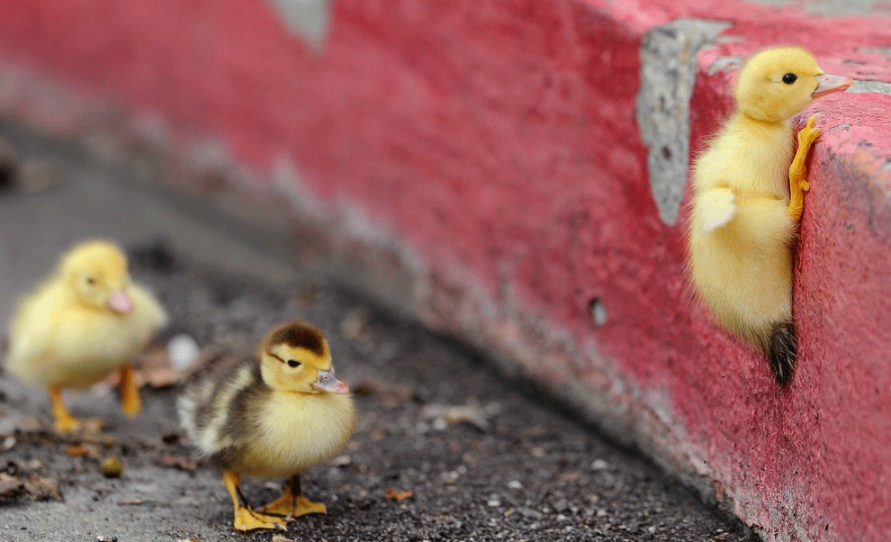 Duckling climbing (Stress helps learning)