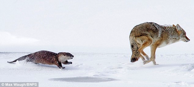 Fear Coyote.