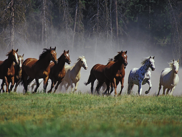 Horses Running In The Wild.