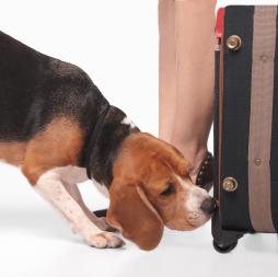 Beagle Detection
