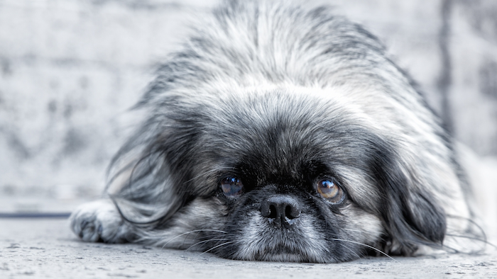 Odie The Pekinese: Awaiting On Death Row