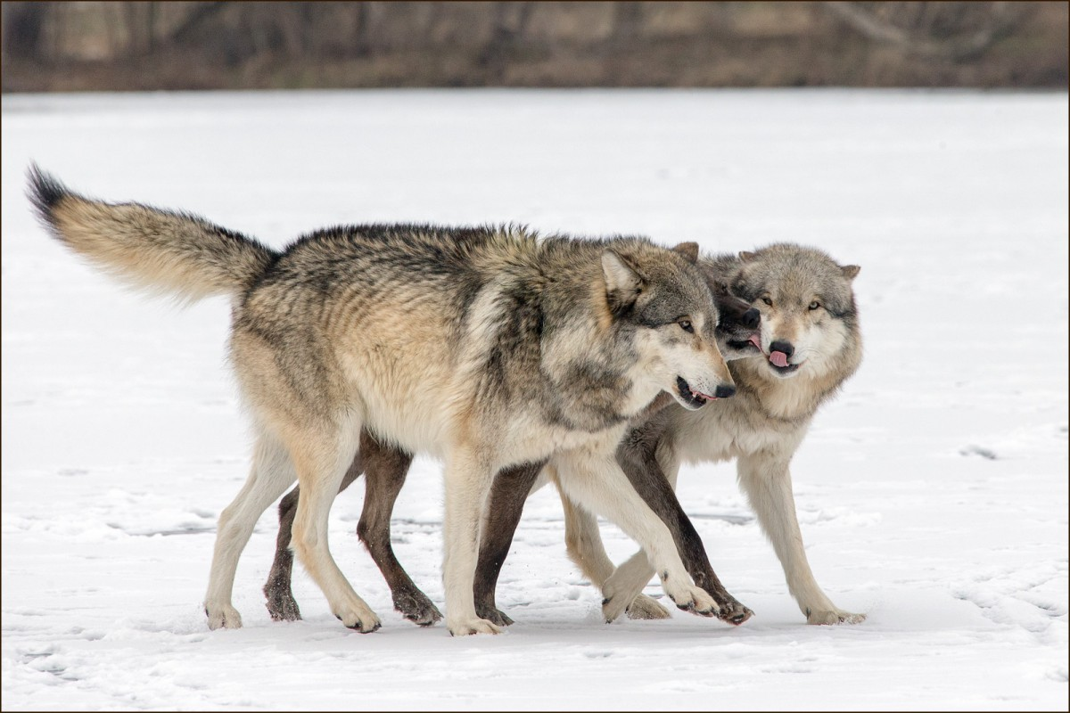 The Wolf Within—The Truth About Why We Fear the Wolf