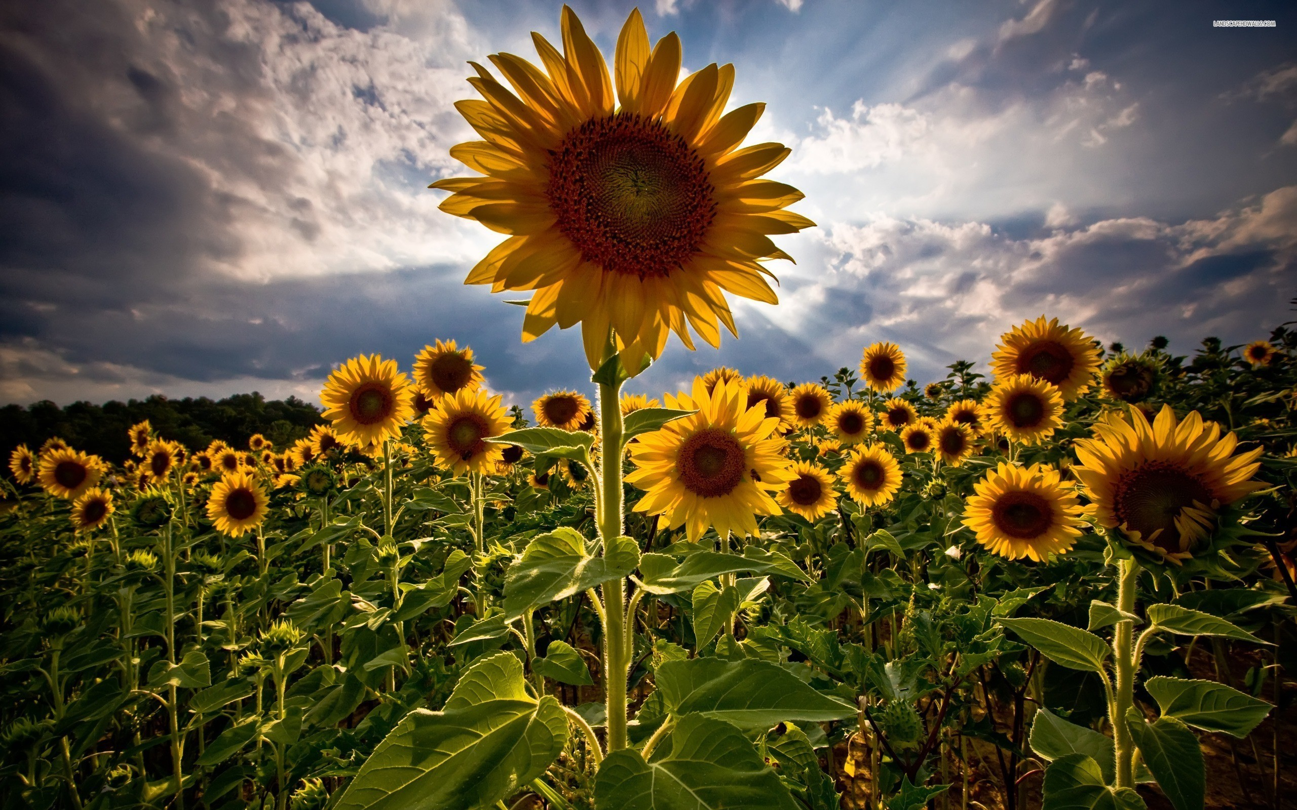 sunflower-field-515-2560x1600