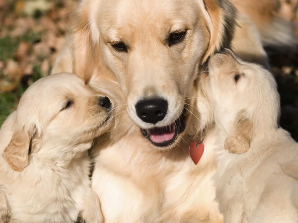 Golden with puppies.