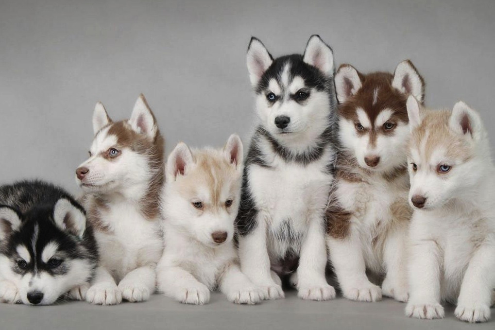 siberian_husky_puppies_31