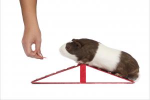 Guinea Pig agility.