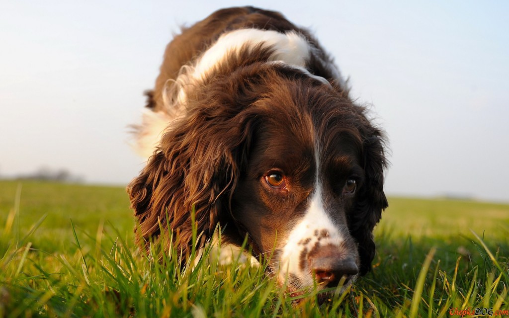 English Springer Spaniel On The Trail