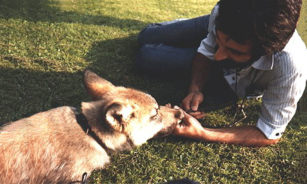 Roger Abrantes in 1985 working with Silas, the wolf cub.