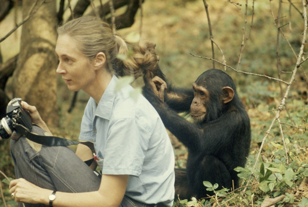 Jane Goodall And Chimp 1